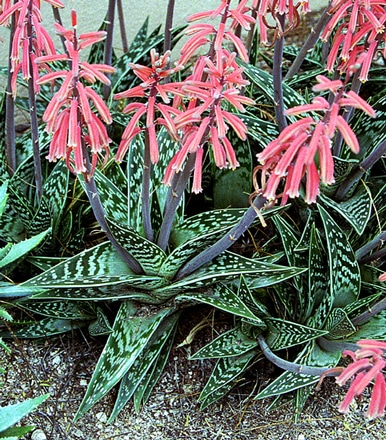 Aloe variegata, Aloe panaché