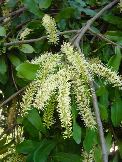 Fleurs de Macadamia