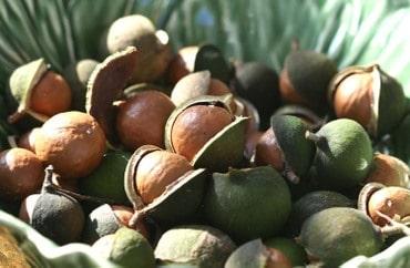 Macadamia Ternifolia, Noix de Macadamia, Noyer du Queensland
