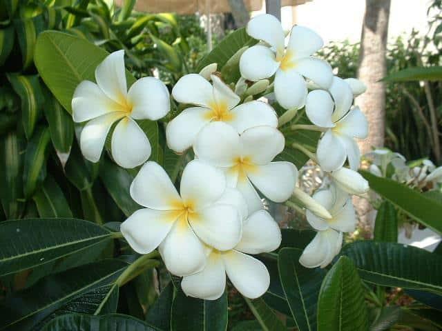 Plumeria Singapore Obtusa