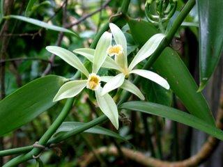 Vanilla Planifolia Bouture De Vanillier Boutique Végétale