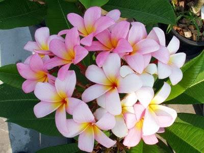 graines de frangipanier, plumeria, fleur des temples