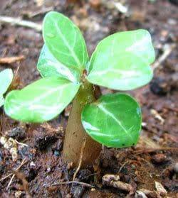 Graines Adenium Obesum