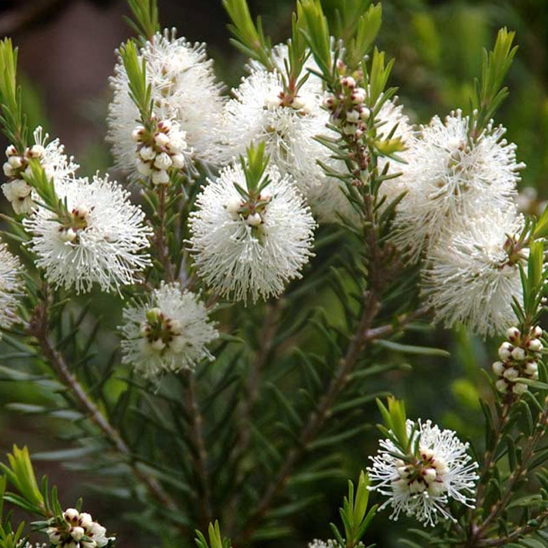 graines Melaleuca alternifolia, Arbre à thé