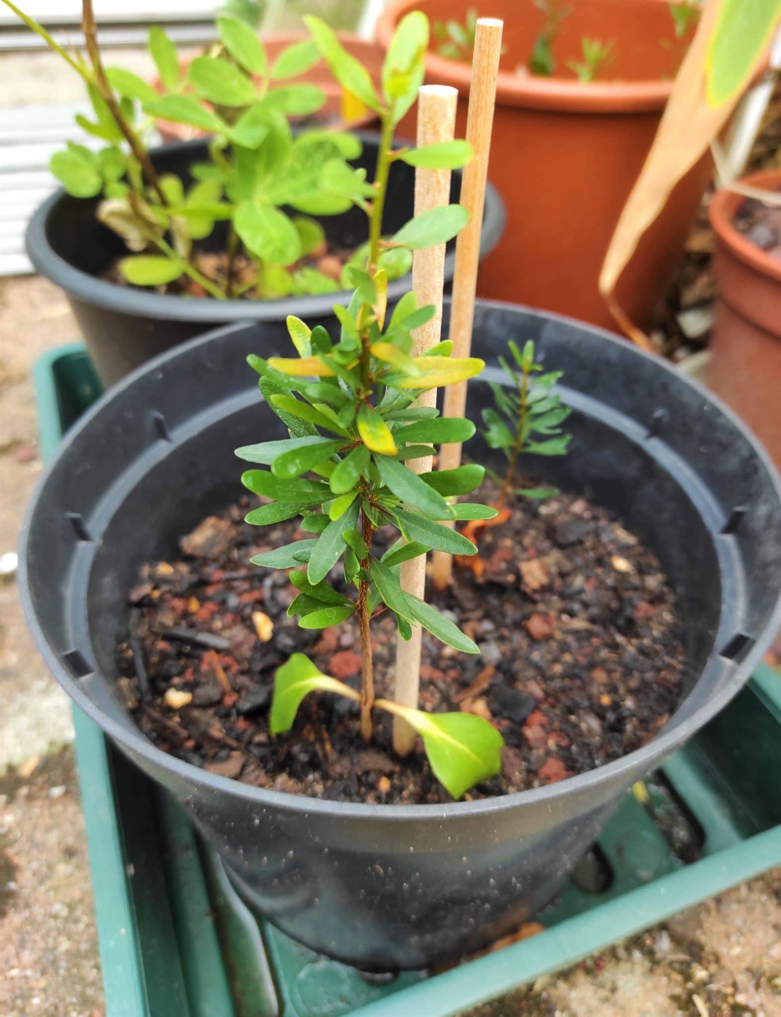 Plant d'Argania spinosa - Arganier - Boutique Végétale